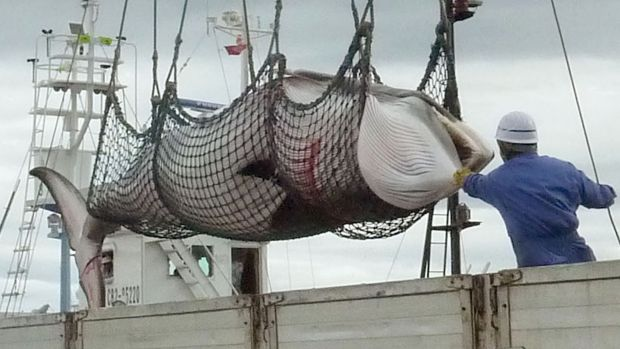 A minke whale is unloaded at a port  in Kushiro in 2013.