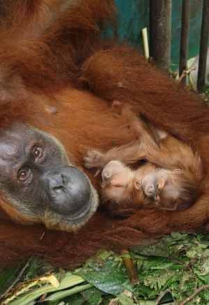 Gober and her twins when they were just a few days old at the Sumatran Orangutan Conservation Programme quarantine ...