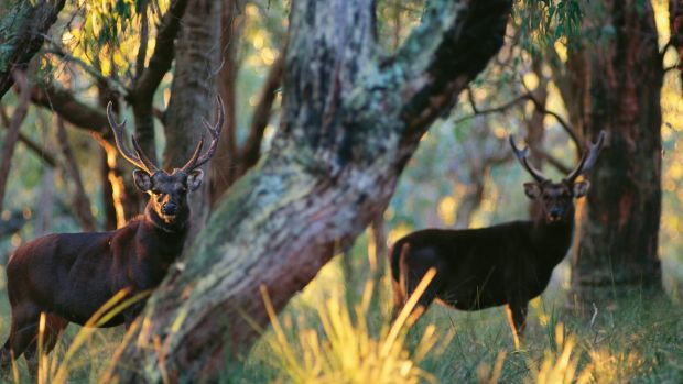 Sambar stags like these are a target for the criminal gang.
