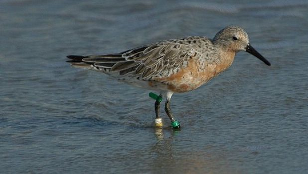 Threatened: Red knot, another species with an uncertain future.