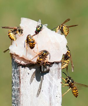 European wasps can be deadly and thrive in the WA climate.
