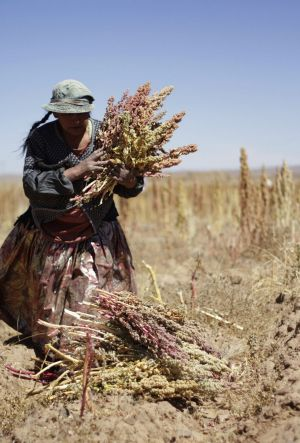 Diet staple: A woman harvests quinoa plants on a field in Tarmaya, 120km south of La Paz.