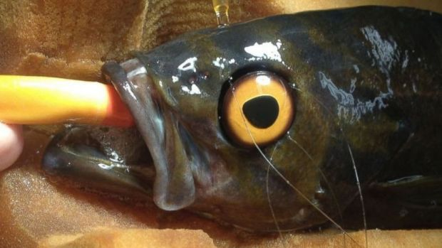 After the fish had its original eye removed because of cataracts, the medical team was worried it might get attacked.