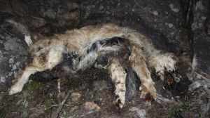 The carcass of a dog reportedly found by Oscars Law activists at the puppy farm.