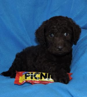 A labradoodle puppy from the puppy farm advertised for sale.