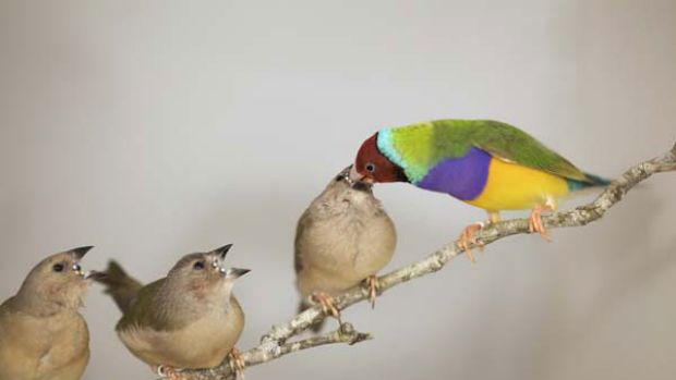 Gouldian finches. <i>Picture: Sarah Pryke</i>