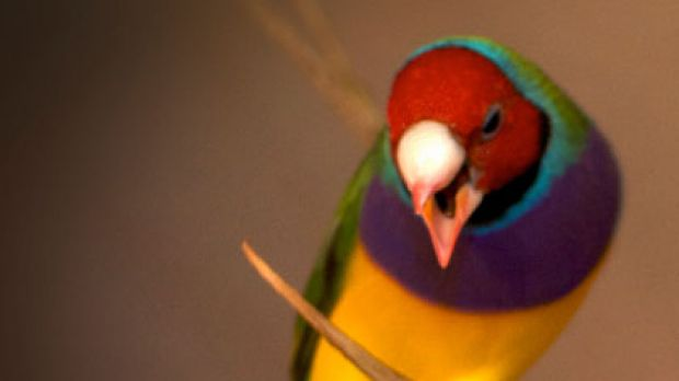 Risky ... female Gouldian finches play the field.