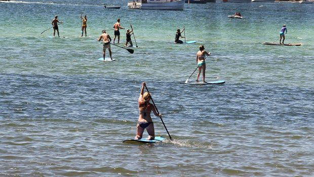 Stand-up paddle boarders at Rose Bay, where a number of people have reported to have been attacked by stingrays.