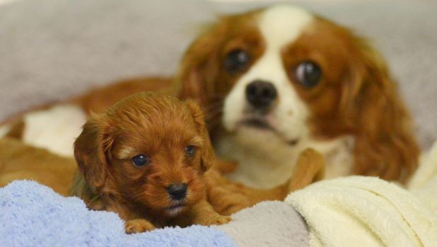 Saved: A fearful king charles spaniel and her puppies have been cleaned up after being rescued from a puppy factory.
