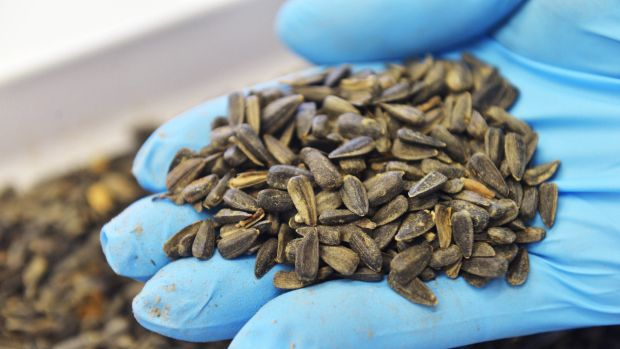 Precious cargo: Some of the sunflower seeds taken from the MH17 crash site in Ukraine.