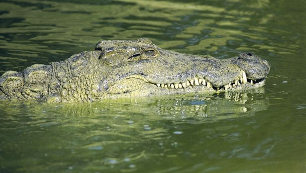 New research has found estuarine crocodiles, which most people know as saltwater crocodiles, were relatively inactive ...