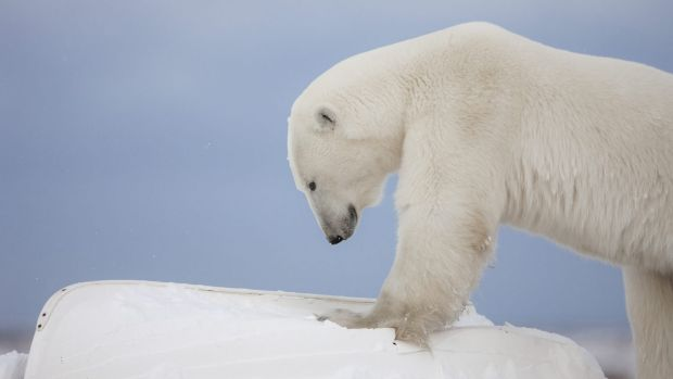 Polar bears are in danger of extinction and now it seems environment pollution is reducing the density of bones in their ...