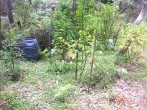 A Tuggeranong man will face court and another may face charges after police discovered a cannabis crop in Uriarra Forest.
