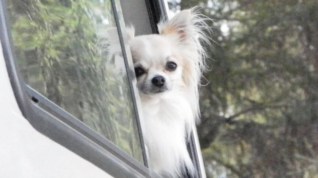 A small, white chihuahua had its head cut open after being attacked by would-be thieves near Townsville.