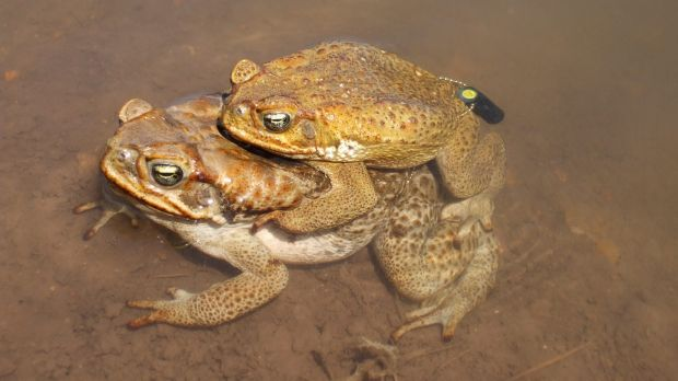 Fences give scientists the jump: Researchers tracked cane toads and found they cannot survive more than three days ...