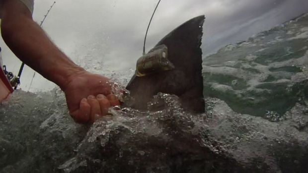 Researchers this week tagged three tiger sharks off Fraser Island.