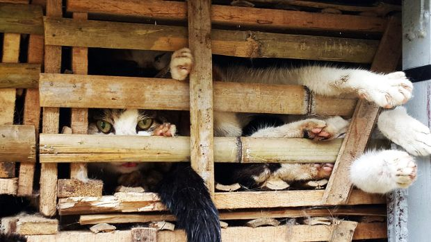 Live cats in a truck in Hanoi on January 27.