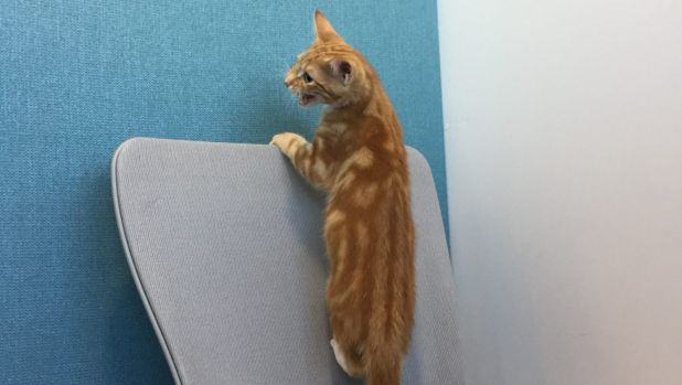 Gumby, a homeless kitten from the Lort Smith Animal Hospital, has high ambitions at The Age offices.