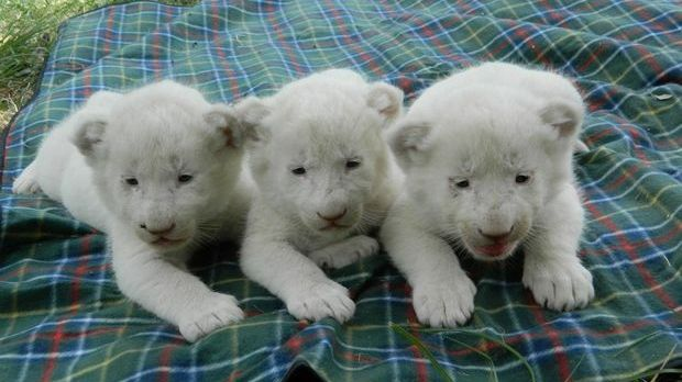 Triple Trouble. Three white lion cubs born at Darling Downs Zoo.