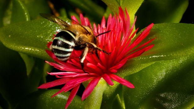 Scientists observe bee societies: An Australian native bee visits a flower. They have not been affected by colony ...