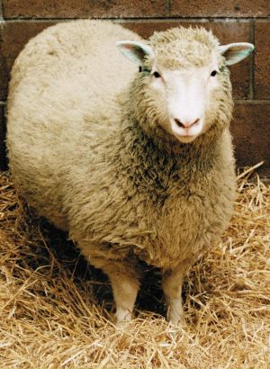 The world's first clone, Dolly the sheep.