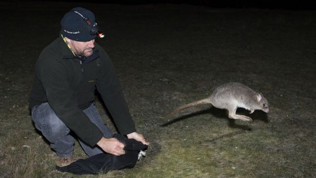 Welcome back: The eastern bettong was extinct on Australia's mainland for more than 100 years.