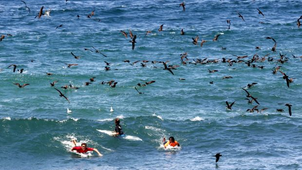Surfers find themselves in the midst of a feeding frenzy during the junior heats of the Surfest's Indigenous Classic in ...