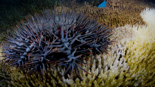 Thorny issue: Rising temperatures are likely to increase numbers of coral-consuming starfish.