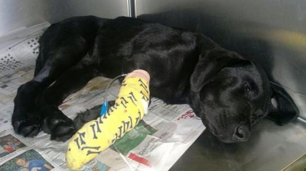 Bruce the Labrador puppy fights for his life after eating suspected death cap mushrooms.