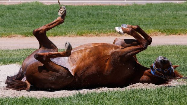 Rock'n'roll: Popular stayer Red Cadeaux takes the chance to stretch out in the sandpit after arriving at Werribee on ...
