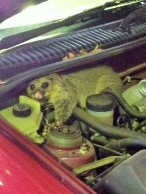 A possum found snoozing under the bonnet of a vehicle.