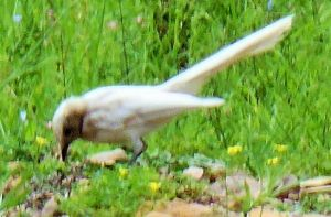 An albino willy wagtail spotted in Deua National Park.