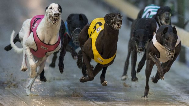 Greyhound racing in NSW has no independent regulator with power to root out criminal and unethical practices.