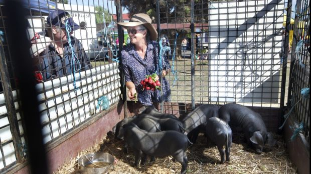 Jules Nixon from Baringup West treats John Wright's pigs to a few radishes at Talbot local market. A major benefit of ...