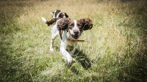 English springer spaniels Tom and Bolt  are going to find to try to find the last stubborn rabbits at Mulligans Flat.