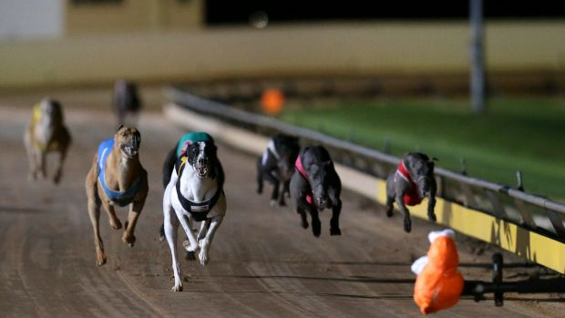 In crisis: The greyhound industry has been rocked by the live baiting scandal.