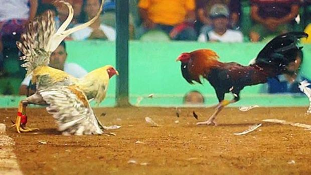 Several raids have been carried out in Queensland in relation to cockfighting.