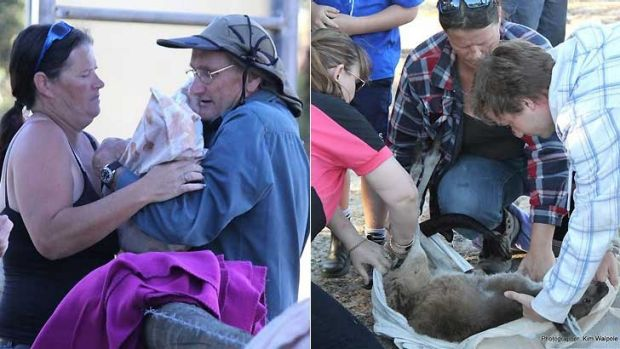 Volunteers take over the care of 38 joeys.