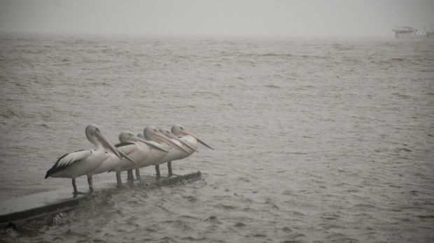 Pelicans huddle on Saturday amid heavy rains and swelling seas in Brisbane.