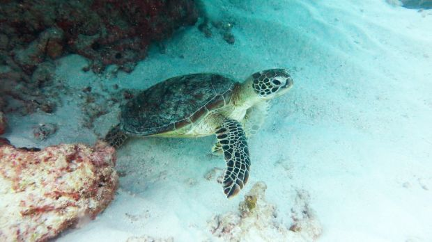 Green turtles being tracked by James Cook University researchers stayed put as Cyclone Marcia passed overhead.