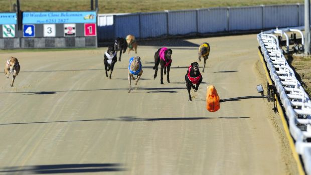Greyhounds compete in at the Canberra Greyhound Racing Club on Sunday.