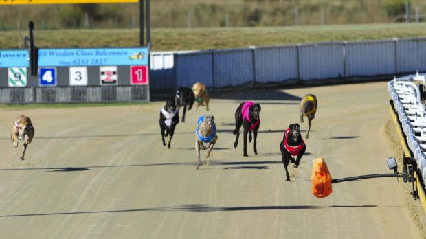 Greyhounds competing at the Canberra Greyhound Racing Club.