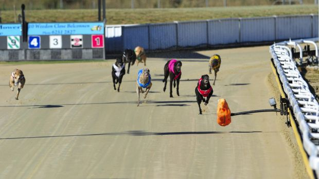 Greyhounds compete at the Canberra Greyhound Racing Club in February last year.
