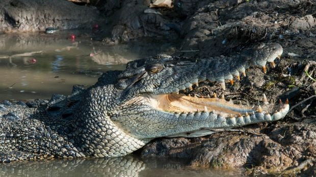 A saltwater crocodile has attacked a woman in Wyndham in the north of WA.