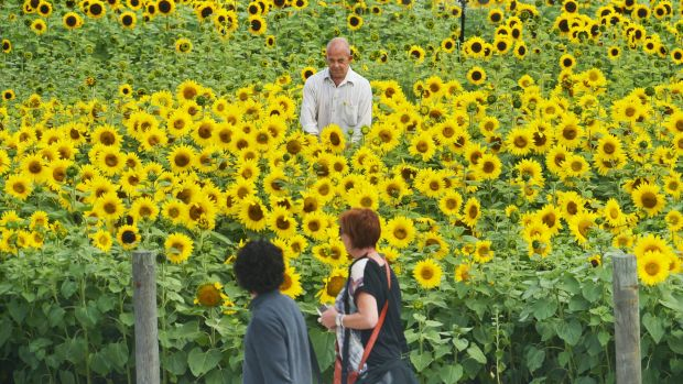 "Labour of love: Local Morwell volunteer Lynton Azlin looks after a patch of sunflowers planted as a part of the ""get ..."