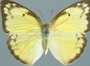 The Lemon Migrant Butterfly. Photo: Queensland Museum