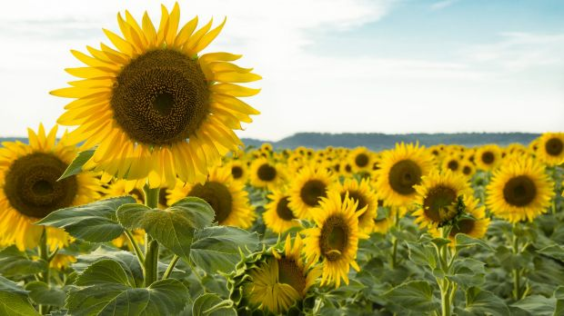 Toowomba is known for its flowers, like this Sunflower Field in Felton.