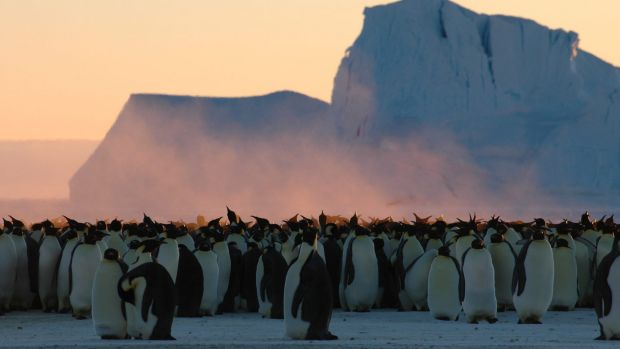 They're fat and happy today, but emperor penguins may have had too much of a good thing during the last ice age.