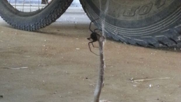 The redback spider with its victim on Neale Postlethwaite's farm.