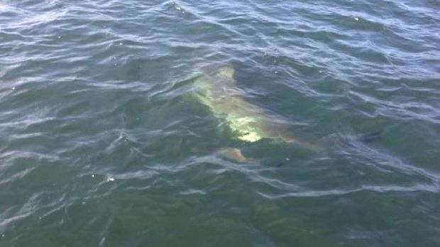 A great white shark was spotted with a small fish in tow.